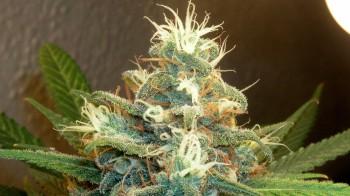 dreamy-weed-marijuana-bud_1920x1080_231-hd